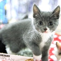 Adopt A Pet :: Bubbles - Fairfax Station, VA