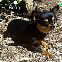 Adopt A Pet :: Bean - Yreka, CA