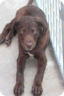 Australian Shepherd/Terrier (Unknown Type, Medium) Mix Puppy for adoption in Hooksett, New Hampshire - Brinley