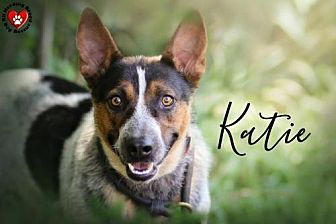Australian Cattle Dog Dog for adoption in Joliet, Illinois - Katie