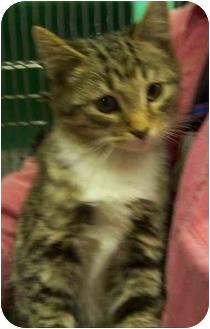 Domestic Shorthair Kitten for adoption in Somerset, Pennsylvania - Ciddles