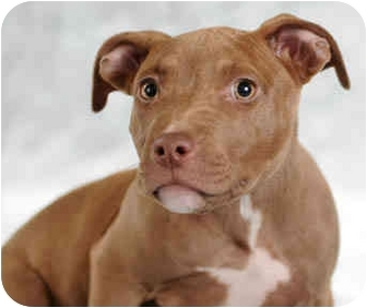 American Pit Bull Terrier Puppy for adoption in Chicago, Illinois - Nita