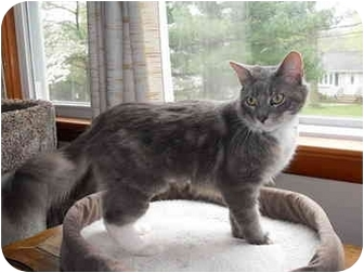 Domestic Mediumhair Cat for adoption in Little Falls, New Jersey - Scooby (nw)
