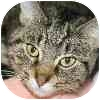 Domestic Shorthair Cat for adoption in Westbrook, Maine - Pocus