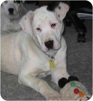American Bulldog Puppy for adoption in Evansville, Indiana - Brando