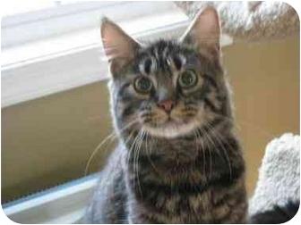 Domestic Longhair Cat for adoption in Bloomsburg, Pennsylvania - Zeppelin