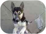 Husky/German Shepherd Dog Mix Puppy for adoption in Belleville, Michigan - Patches