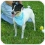 Photo 2 - Rat Terrier Dog for adoption in Portsmouth, Rhode Island - Jack