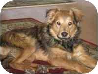 Sheltie, Shetland Sheepdog/Collie Mix Puppy for adoption in Lombard, Illinois - Sprocket