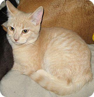 Domestic Shorthair Kitten for adoption in Randolph, Vermont - Pumpkin