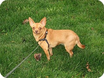 Chihuahua Mix Dog for adoption in Bellingham, Washington - Ginger