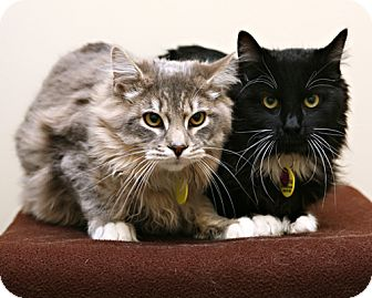 Domestic Mediumhair Cat for adoption in Bellingham, Washington - Bullwinkle
