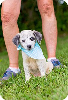 Cattle Dog/Border Collie Mix Puppy for adoption in Portsmouth, Rhode Island - Almond