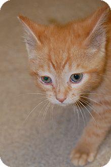 Domestic Shorthair Kitten for adoption in Bucyrus, Ohio - Tumbler
