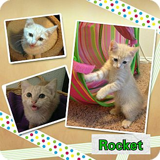 Domestic Shorthair Kitten for adoption in North Richland Hills, Texas - Rocket