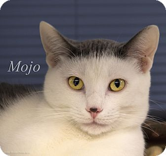 Domestic Shorthair Cat for adoption in Martinsville, Indiana - Mojo