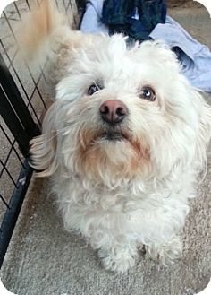 Maltese/Poodle (Miniature) Mix Dog for adoption in Los Angeles, California - Snowball