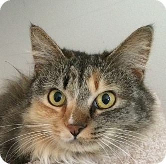 Domestic Longhair Cat for adoption in Winchester, California - Lady