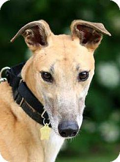 Greyhound Dog for adoption in Nashville, Tennessee - Nordic