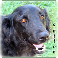 Adopt A Pet :: Shiloh - Marlborough, MA