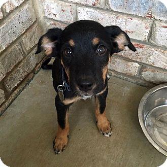 Shepherd (Unknown Type)/Labrador Retriever Mix Puppy for adoption in Chattanooga, Tennessee - Sadie