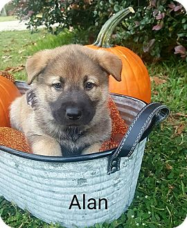 Chow Chow/Shepherd (Unknown Type) Mix Puppy for adoption in Gainesville, Florida - Alan