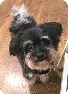 Chinese Crested Dog for adoption in Atlanta, Georgia - Kiki