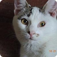 Domestic Shorthair Cat for adoption in Philadelphia, Pennsylvania - Austin