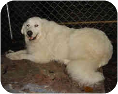 Great Pyrenees Mix Dog for adoption in Kyle, Texas - Justine