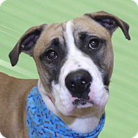 Boxer/American Pit Bull Terrier Mix Dog for adoption in Cincinnati, Ohio - Prince
