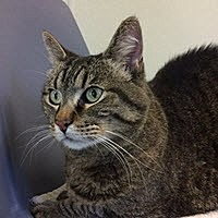 American Shorthair Cat for adoption in Bartlesville, Oklahoma - Indy
