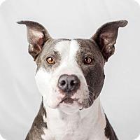 American Staffordshire Terrier/Labrador Retriever Mix Dog for adoption in Marina del Rey, California - Buddy