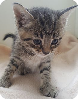 Domestic Shorthair Kitten for adoption in Oakland, Michigan - Malbec