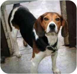 Beagle Dog for adoption in Portland, Ontario - Harley