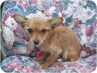 Terrier (Unknown Type, Small) Mix Puppy for adoption in Sacramento, California - Bitty