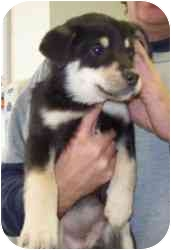 Collie/Husky Mix Puppy for adoption in Bel Air, Maryland - Baby