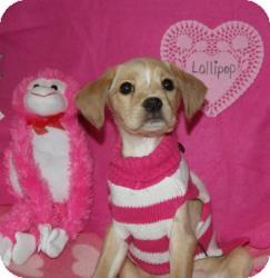 Cocker Spaniel Mix Puppy for adoption in Wayne, New Jersey - Lollipop