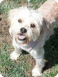 Yorkie, Yorkshire Terrier Mix Dog for adoption in Beavercreek, Ohio - FAITH