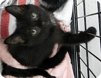 Domestic Mediumhair Kitten for adoption in Troy, Michigan - Whinny