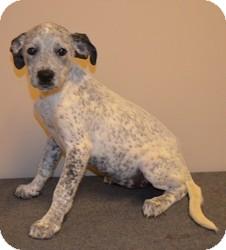 Australian Cattle Dog Mix Puppy for adoption in Overland Park, Kansas - SANDY