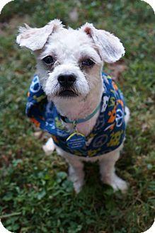 Shih Tzu Mix Puppy for adoption in Kimberton, Pennsylvania - Slippers