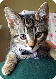 Domestic Shorthair Kitten for adoption in Green Bay, Wisconsin - Anna