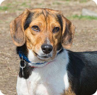 Beagle Mix Dog for adoption in Elmwood Park, New Jersey - Parker