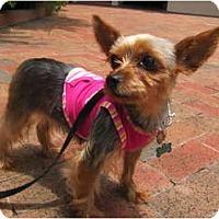 Adopt A Pet :: Jolie - Fairfax, VA