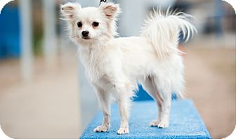 Papillon Mix Dog for adoption in Houston, Texas - Tad