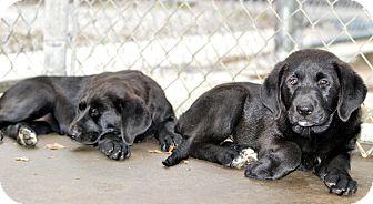 Labrador Retriever Mix Puppy for adoption in Henderson, North Carolina - Rose & Rob