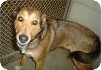 Australian Shepherd/Australian Cattle Dog Mix Dog for adoption in Walker, Michigan - Bella