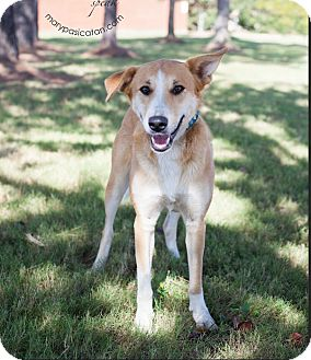 Shepherd (Unknown Type)/Labrador Retriever Mix Dog for adoption in Cat Spring, Texas - Melvin