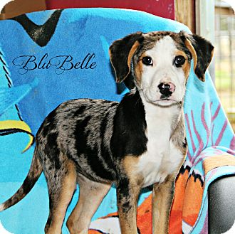 Catahoula Leopard Dog/Labrador Retriever Mix Puppy for adoption in New Orleans, Louisiana - Blu Belle
