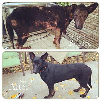 German Shepherd Dog/Belgian Malinois Mix Dog for adoption in Ashburn, Virginia - Vala